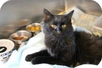 Domestic Longhair Cat for adoption in Manitowoc, Wisconsin - Lizzy