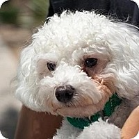 Adopt A Pet :: Pierre - Phoenix, AZ