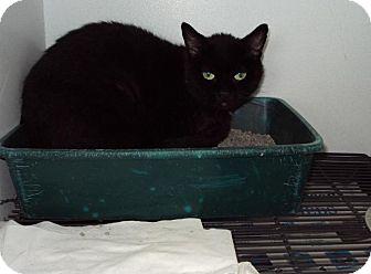 Domestic Shorthair Cat for adoption in Mt. Vernon, Illinois - Midnight Female