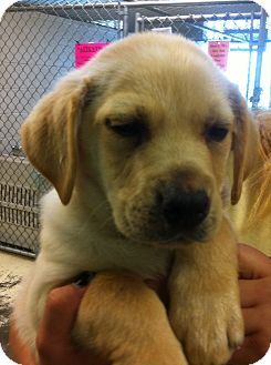 Labrador Retriever Mix Puppy for adoption in Greensburg, Pennsylvania - Mo