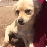 Adopt A Pet :: SOPHIE - Childress, TX
