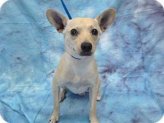 Chihuahua Mix Dog for adoption in Hawthorne, California - Chalupa
