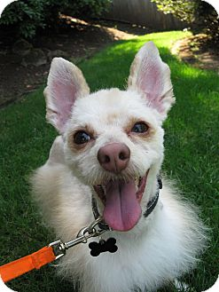Terrier (Unknown Type, Small) Mix Dog for adoption in Salem, Oregon - Dexter