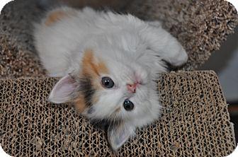 Domestic Mediumhair Kitten for adoption in Hainesville, Illinois - Cashew
