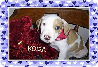 Boxer/Labrador Retriever Mix Puppy for adoption in Waterbury, Connecticut - KODA