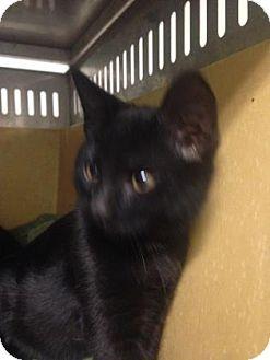 Domestic Shorthair Kitten for adoption in Edmonton, Alberta - Zafer