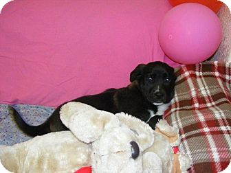 Collie/Labrador Retriever Mix Puppy for adoption in Buchanan Dam, Texas - Tara