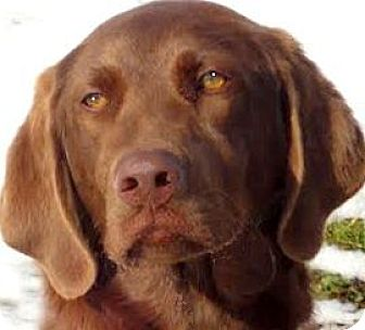 Labrador Retriever Dog for adoption in Wakefield, Rhode Island - ROSE(GENTLE-LOVING-GORGEOUS!