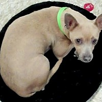 Chihuahua Dog for adoption in Fort Worth, Texas - Cora