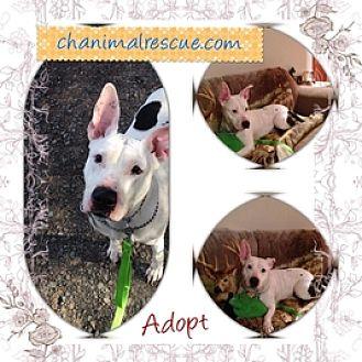 American Pit Bull Terrier/Bull Terrier Mix Dog for adoption in selden, New York - Diamond