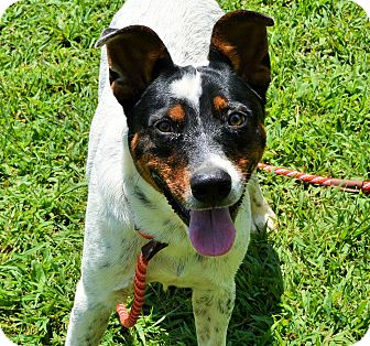 Cattle Dog Mix Dog for adoption in Spring Valley, New York - Brody