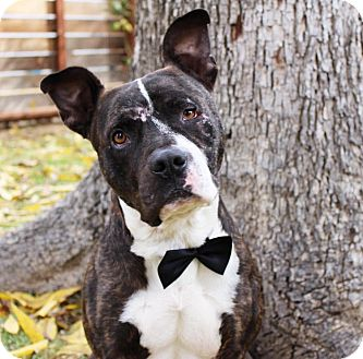 American Staffordshire Terrier/American Pit Bull Terrier Mix Dog for adoption in santa monica, California - Frankie