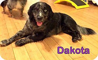 Australian Shepherd Mix Dog for adoption in Georgetown, South Carolina - Dakota