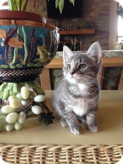 Domestic Shorthair Kitten for adoption in San Antonio, Texas - Gracie-