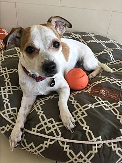 Jack Russell Terrier Mix Dog for adoption in Orange, California - Leilani