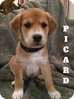 Labrador Retriever Mix Puppy for adoption in Chattanooga, Tennessee - Picard