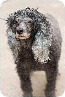 Poodle (Miniature) Dog for adoption in Portland, Oregon - Rocky