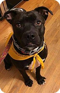 Staffordshire Bull Terrier Mix Dog for adoption in Wymore, Nebraska - Shadow