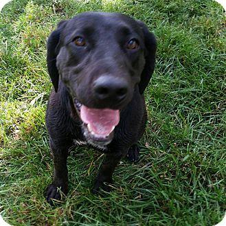 Labrador Retriever Mix Dog for adoption in Long Island, New York - Kennedy