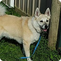Norwegian Buhund Dog for adoption in Christiana, Tennessee - Fenrir *Courtesy Post*