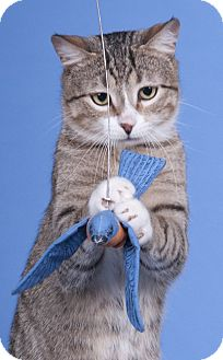 Domestic Shorthair Cat for adoption in Chicago, Illinois - Ranger Crosby