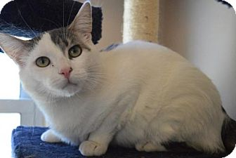 Domestic Shorthair Cat for adoption in Livonia, Michigan - Draco-ADOPTED
