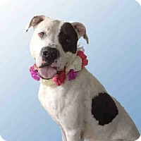 Pit Bull Terrier/Great Dane Mix Dog for adoption in Jackson, California - MOOMOO