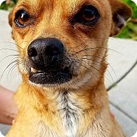 Adopt A Pet :: Scooby - Poway, CA