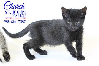 Domestic Shorthair Kitten for adoption in Laplace, Louisiana - Church