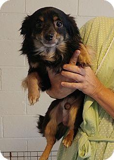 Pomeranian/Chihuahua Mix Dog for adoption in Sylva, North Carolina - Piper