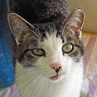 Domestic Shorthair Cat for adoption in Danville, Kentucky - Miss Kitty