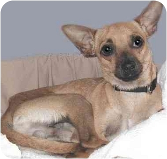 Chihuahua Dog for adoption in Grass Valley, California - Bob's Big Boy*URGENT*