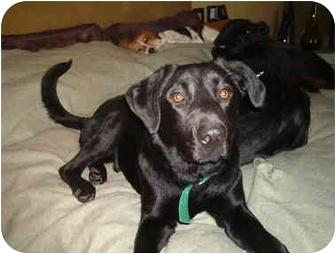 Labrador Retriever Dog for adoption in North Jackson, Ohio - Jett