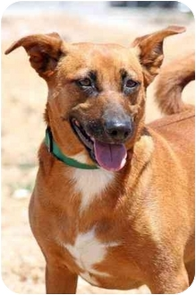 Terrier (Unknown Type, Medium)/Shepherd (Unknown Type) Mix Dog for adoption in Los Angeles, California - Raylene
