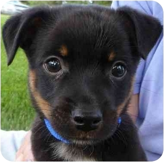 Chihuahua/Terrier (Unknown Type, Small) Mix Puppy for adoption in Broomfield, Colorado - Robin