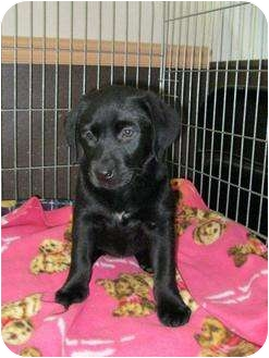 Labrador Retriever Mix Puppy for adoption in Ile-Perrot, Quebec - LIGHTNING