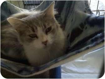 Domestic Shorthair Cat for adoption in Columbiaville, Michigan - Priscilla