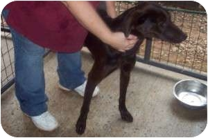 Labrador Retriever Mix Dog for adoption in Durbin, West Virginia - Remington