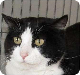 Domestic Shorthair Cat for adoption in Muskogee, Oklahoma - Miss Kitty