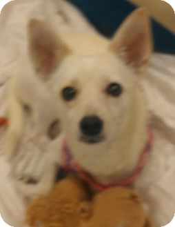 Chihuahua/Dachshund Mix Dog for adoption in Phoenix, Arizona - Blanca