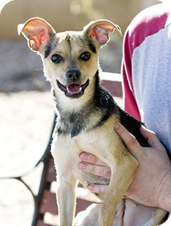 Terrier (Unknown Type, Small)/Chihuahua Mix Puppy for adoption in Litchfield Park, Arizona - Sneaker - Only $25 adoption!