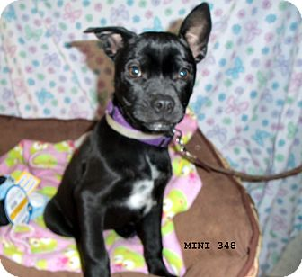 Terrier (Unknown Type, Medium) Mix Dog for adoption in Waldorf, Maryland - Mini #348