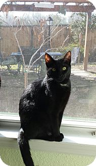 Domestic Shorthair Kitten for adoption in Houston, Texas - Cinder
