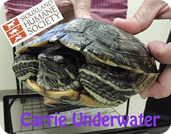 Turtle - Water for adoption in Sioux City, Iowa - CARRIE UNDERWATER