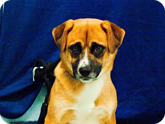Pug/Beagle Mix Dog for adoption in Fort Lupton, Colorado - Molly