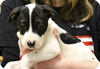 American Pit Bull Terrier Mix Puppy for adoption in Elyria, Ohio - Wilson
