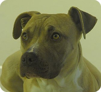 American Pit Bull Terrier Mix Dog for adoption in Farmington, New Mexico - Gypsy