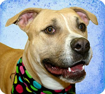 Labrador Retriever/American Bulldog Mix Dog for adoption in Cincinnati, Ohio - Puddy