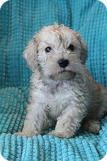 Poodle (Miniature)/Schnauzer (Miniature) Mix Puppy for adoption in Bedminster, New Jersey - Karma