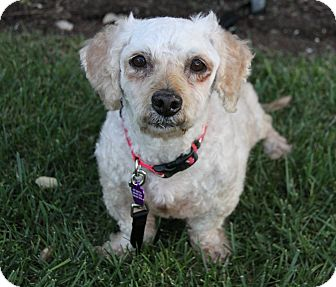Poodle (Miniature)/Dachshund Mix Dog for adoption in Newport Beach, California - TRUMP